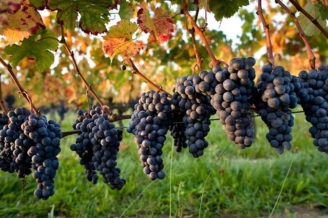 le vignoble de l'Hérault
